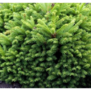 Dværggran (Picea abies 'Ohlendorfii') - 2 liter potte 15-20 cm