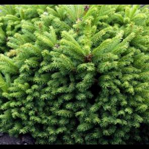 Dværggran (Picea glauca 'Alberta Globe') - 2 liter potte 15-20 cm