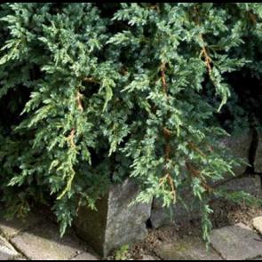 Enebær(Juniperus squamata 'Blue Carpet') - 1,5 liter potte 15-20 cm