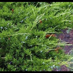 Kinesisk enebær (Juniperus chinensis 'Mint Julep') - 2 liter potte 20-25 cm