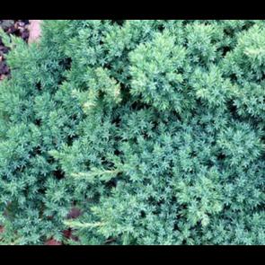 Enebær (Juniperus procumbens 'Nana') - 2 liter potte 20-25 cm