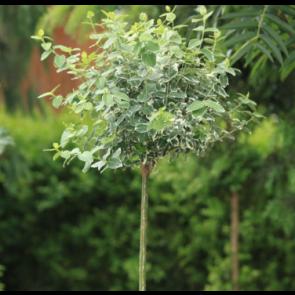 Benved podet på stamme -( Euonymus fortunei 'Emerald Gaiety')  -  Podet træ på 60 cm stamme