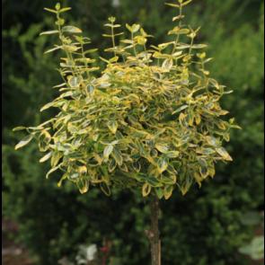 Krybende benved podet på stamme. (Euonymus fortunei 'Emerald Gold') -  Podet træ på 80 cm stamme