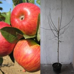 Æbletræ med 3 sorter (Discovery/Ildrød Pigeon/Rød Ananas) - Triotræ