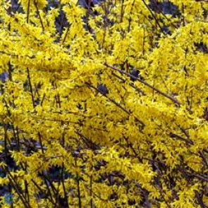 Vårguld 'Goldrush' (Forsythia 'Goldrush') Buske i 5 liters potte