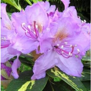 'Goldflimmer'  (Rhododendron  'Goldflimmer')  - Buske i 5 liters potte 30-40 cm