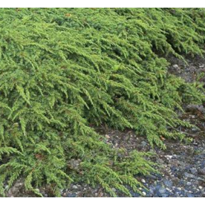 Krybende enebær (Juniperus communis 'Green Carpet') - 2 liter potte 20-25 cm