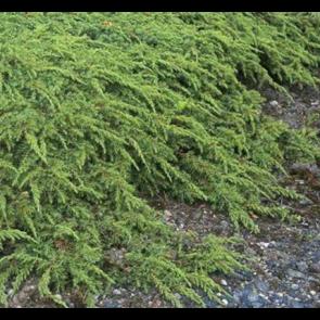 Enebaer hurtig levering online salg af sunde planter for Green carpet png