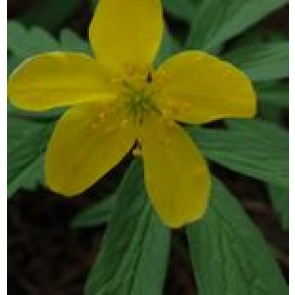 Gul skovanemone (Anemone ranunculoides) - Staude i 10 x 10 cm potte - Sælges kun i pakke á 3 stk.