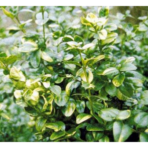 Storbladet gulbroget buksbom (Buxus sempervirens 'Rotundifolia Aurea') - Busk med jordklump 25-30 cm