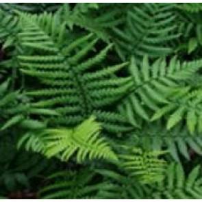 Guldskælbregne (Dryopteris affinis (bor. pseudo-mas)) - Bregne i 1 liter potte.  Sælges kun i pakke á 3 stk.