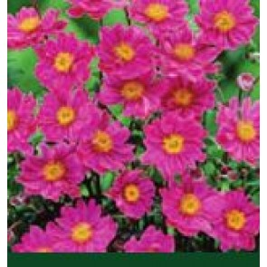 Høstanemone( Anemone hybr. 'Pamina') - Staude i 1 liter potte