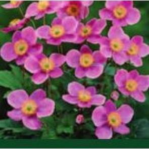 Høstanemone (Anemone hupehensis 'Praecox') - Staude i 1 liter potte - Sælges kun i pakke á 3 stk.