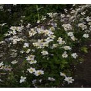 3 stk Høstanemone( Anemone hybr. 'Ruffled Swan') - Staude i 1 liter potte