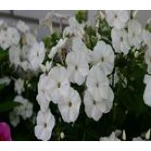 Høstfloks (Phlox pani. Adessa®'White') - Staude i 1 liter potte