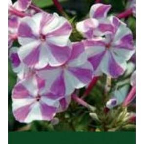 Høstfloks (Phlox pani. Adessa®'Lilac Twist') - Staude i 1 liter potte
