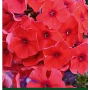 Høstfloks (Phlox pani. Adessa®'Orange') - Staude i 1 liter potte
