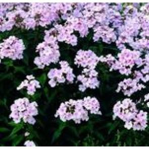 Høstfloks (Phlox pani. Adessa®'Pink Star') - Staude i 1 liter potte