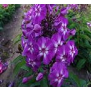 Høstfloks (Phlox pani. Adessa®'Sp. Purple Star'') - Staude i 1 liter potte