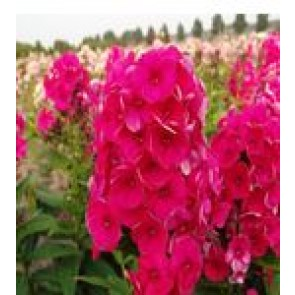 Høstfloks (Phlox pani. Adessa®'Red') - Staude i 1 liter potte