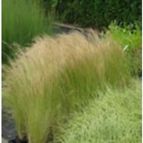 Hejregræs (Stipa tenuissima) - Græs i 10 x 10 cm potte - Sælges kun i pakke á 3 stk.