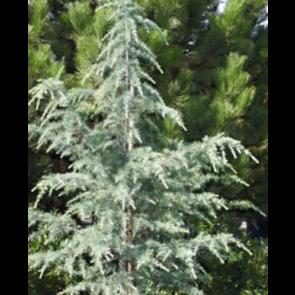 Himalaya ceder (Cedrus deodara 'Bushes Electra') - 3 liter potte 60-80 cm