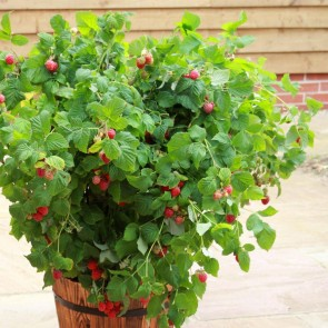 Sommerhindbær 'Ruby Beauty' (Rubus idae. 'Ruby Beauty') Buske i 5 liters potte