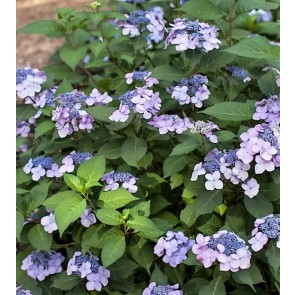 Have-hortensia (Hydrangea) 'Endless Summer Twist and Shout' - Buske i 5 liters potte