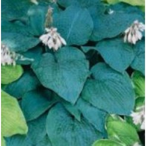 Hosta (Hosta hybrid 'Blue Angel') - Staude i 1 liter potte