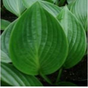 Hosta (Hosta hybrid 'Devon Green') - Staude i 1 liter potte