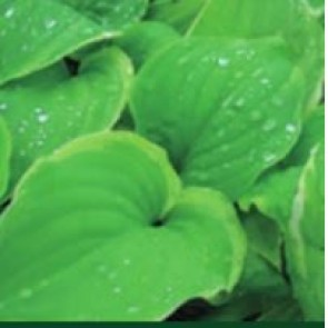 Hosta (Hosta hybrid 'Fragrant Dream') - Staude i 1 liter potte  - Sælges kun i pakke á 3 stk.