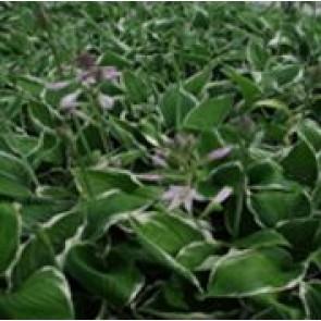 Hosta (Hosta hybrid 'Francee') - Staude i 1 liter potte