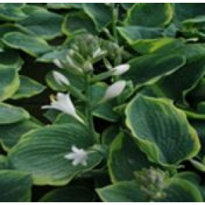 Hosta (Hosta sieboldiana 'Frances Williams') - Staude i 1 liter potte
