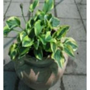 Hosta (Hosta hybrid 'Wide Brim') - Staude i 1 liter potte  - Sælges kun i pakke á 3 stk.