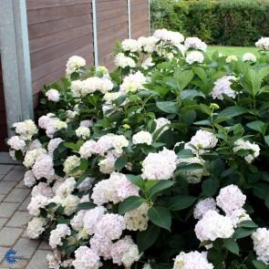 Almindelig hortensia 'Alma' (Hydrangea Macrophylla 'Alma') - Buske i 5 liters potte