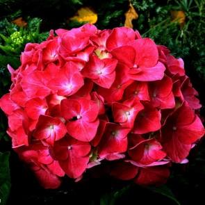 Almindelig hortensia 'Bella' (Hydrangea Macrophylla 'Bella') - Buske i 5 liters potte