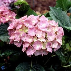 Almindelig hortensia 'Dorthea' (Hydrangea Macrophylla 'Dorthea') - C5,0 buske