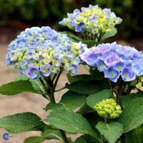 Almindelig hortensia 'Elisa' (Hydrangea Macrophylla 'Elisa') - Buske i 5 liters potte