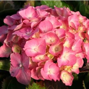 Almindelig hortensia 'Frida' (Hydrangea Macrophylla 'Frida') - Buske i 5 liters potte