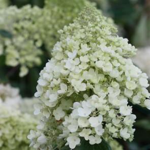 Hydrangea paniculata (Syren hortensia) 'Silver Dollar' - Buske i 5 liter potte