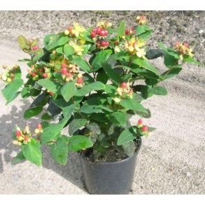 Perikon (Hypericum 'Miracle Blossom') - Buske i 3,5 liters potte