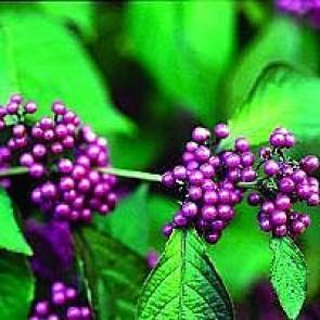 Glasbær (Callicarpa bodinieri 'Profusion') - Buske i 3½ liters potte