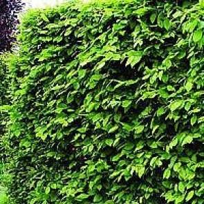 Almindelig avnbøg (Carpinus betulus) - Barrodet hæk 40-60 3 års