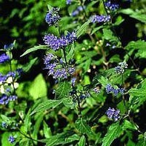 Blåskæg (Caryopteris clandon. 'Heavenly Blue') - Buske i 3½ liters potte