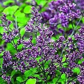 Dværgsyren (Syringa meyeri 'Palibin') - C 3,5 buske