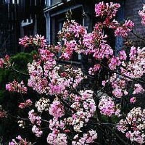 Kejserbusk (Viburnum bodnantense 'Charles Lamont') - Buske i 5 liters potte