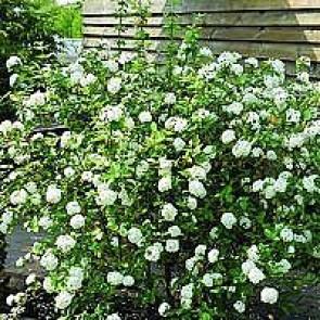 Snebollebusk Blomstrende Busk Til Haven Køb Den Her