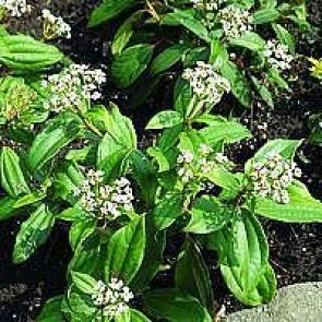 Dværgkalkved (Viburnum davidii) - CO/MK 25-30