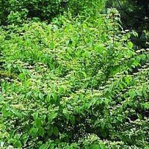 Japansk snebolle (Viburnum plicatum 'Mariesii') - Buske i 5 liters potte