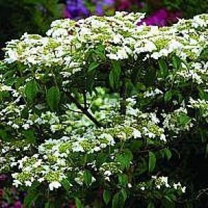 Japansk snebolle (Viburnum plicatum 'Watanabe')  - Buske i 5 liters potte